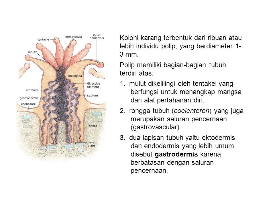 Koloni karang terbentuk dari ribuan atau lebih individu polip, yang berdiameter 1- 3 mm.