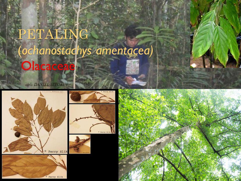 PETALING (ochanostachys amentacea) Olacaceae oleh: DANIEL SITORUS