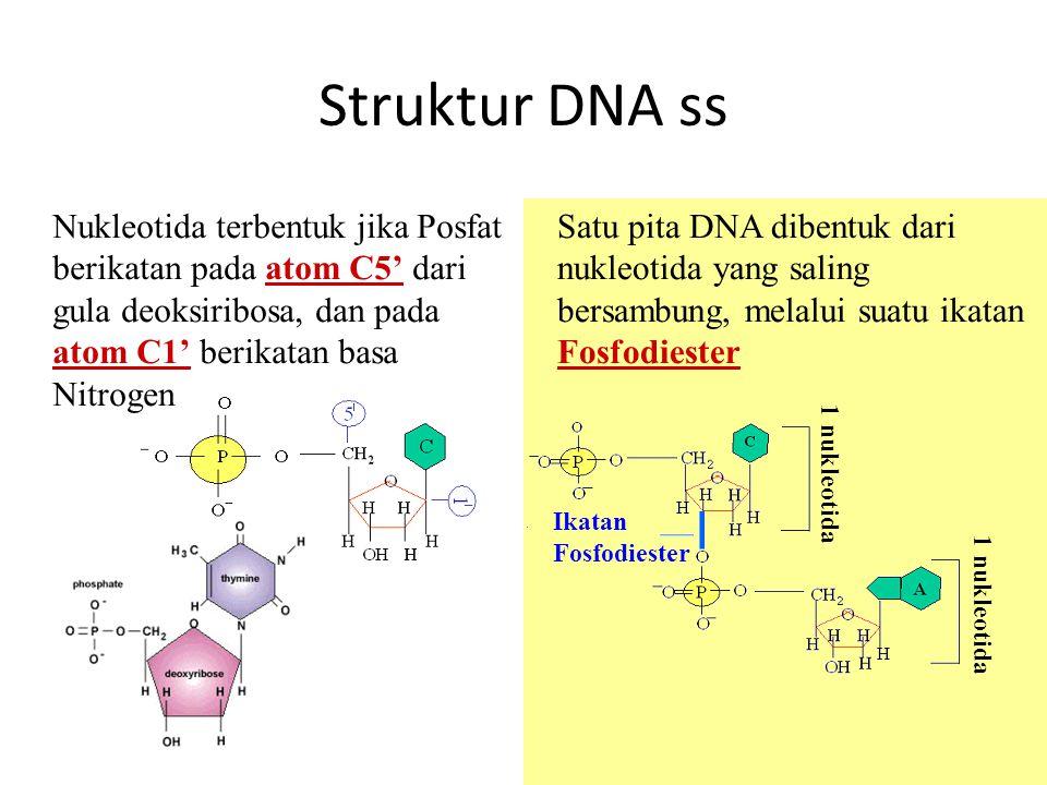 Struktur DNA ss Nukleotida terbentuk jika Posfat berikatan pada atom C5' dari gula deoksiribosa, dan pada atom C1' berikatan basa Nitrogen.