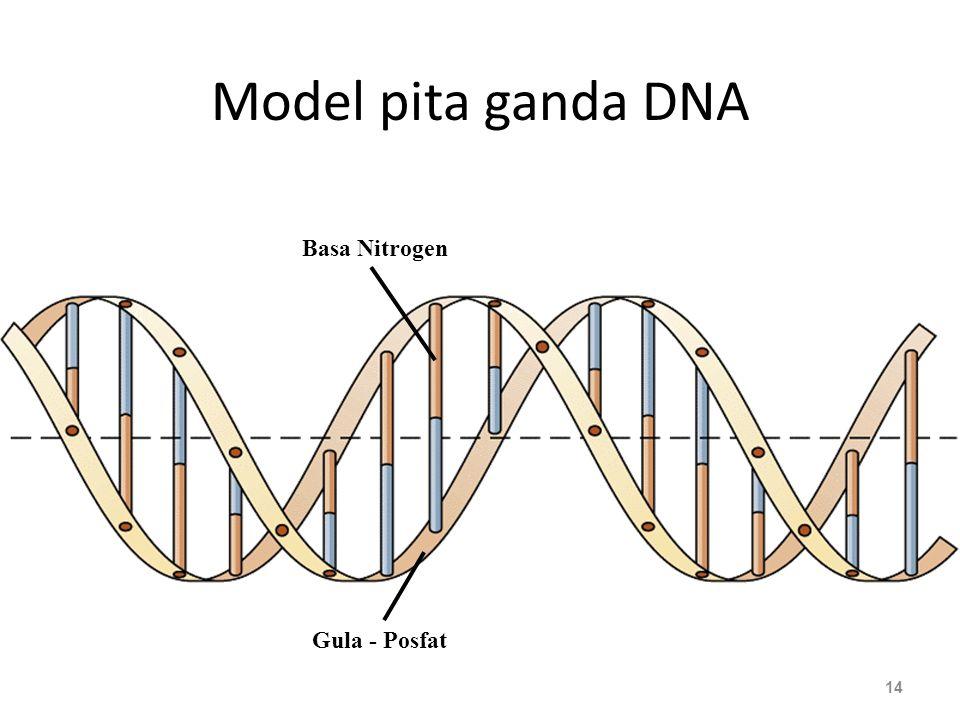 Model pita ganda DNA Basa Nitrogen Gula - Posfat