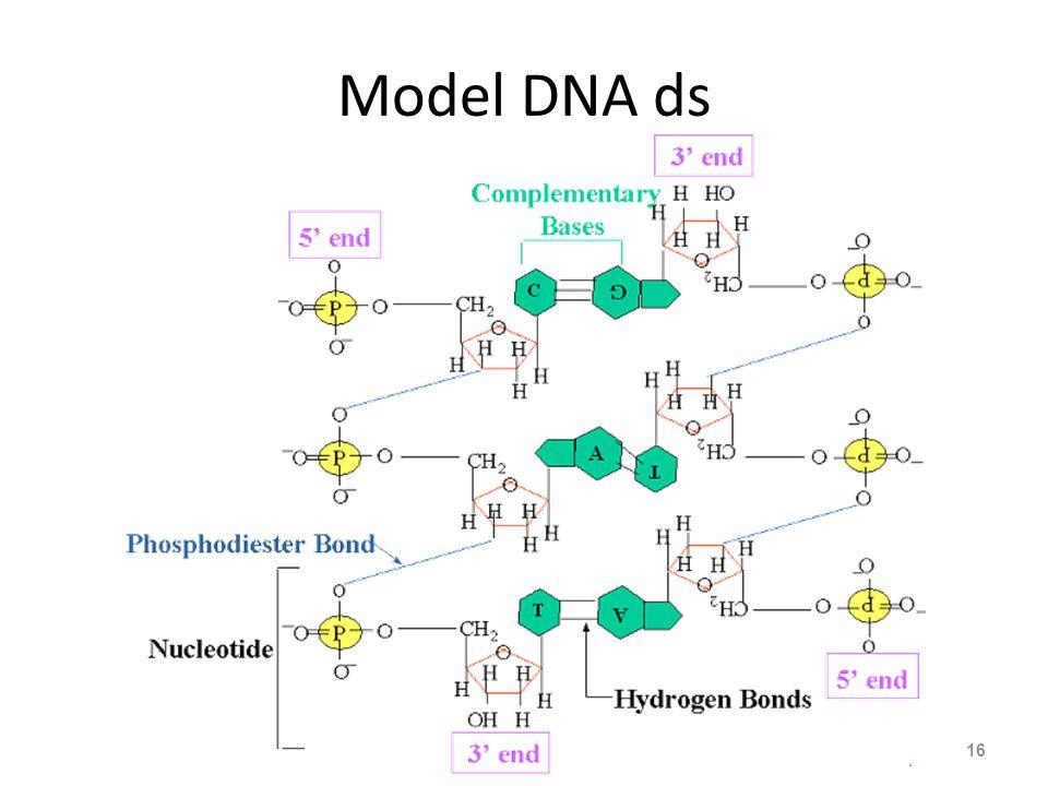 Model DNA ds