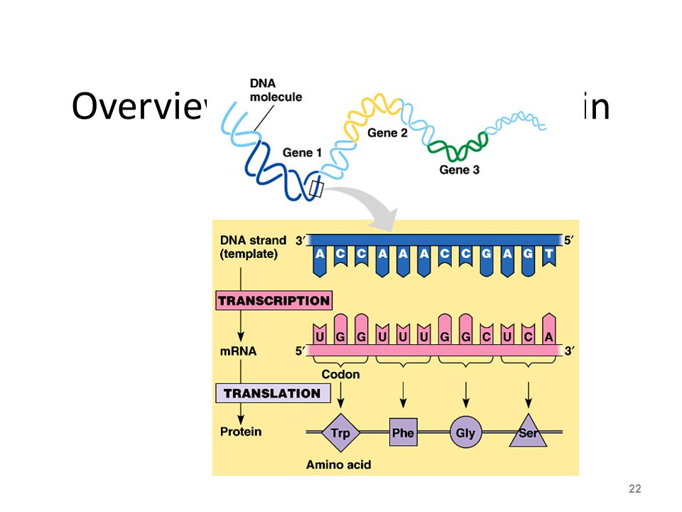 Overview: From gene to protein