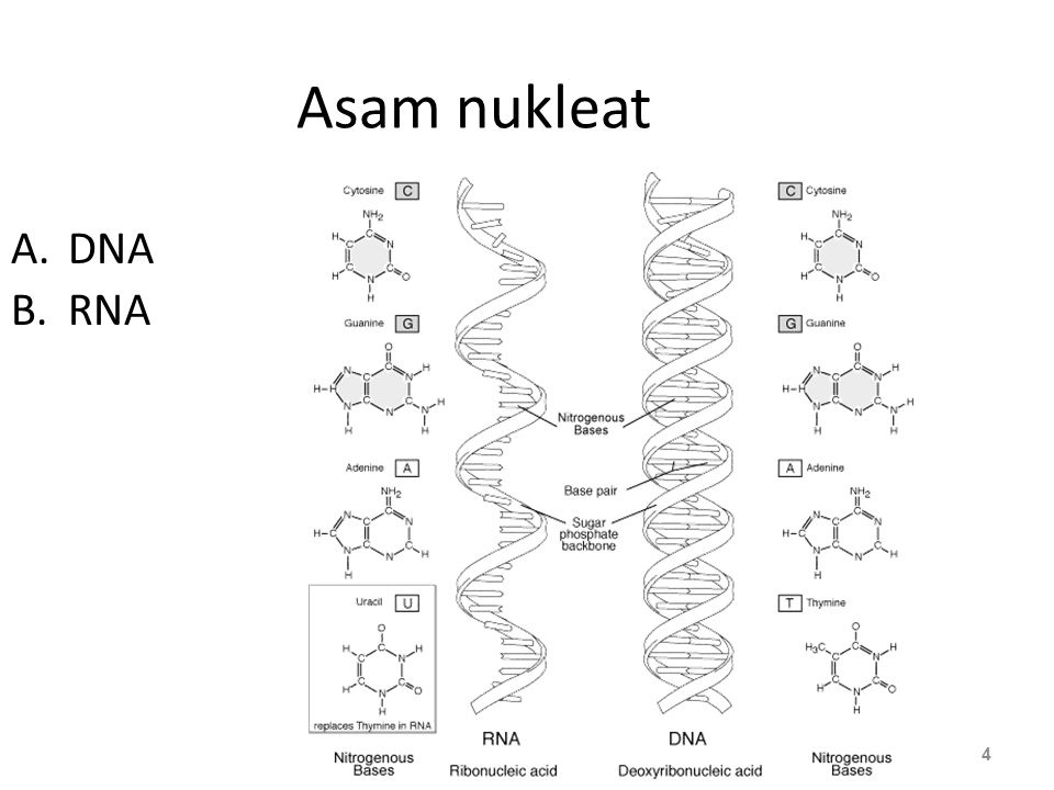 Asam nukleat DNA RNA