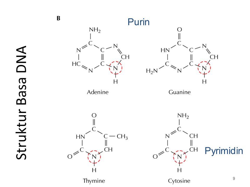 Purin Nucleoside Struktur Basa DNA Pyrimidin