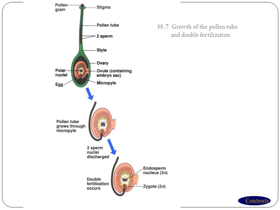 38.7 Growth of the pollen tube and double fertilization
