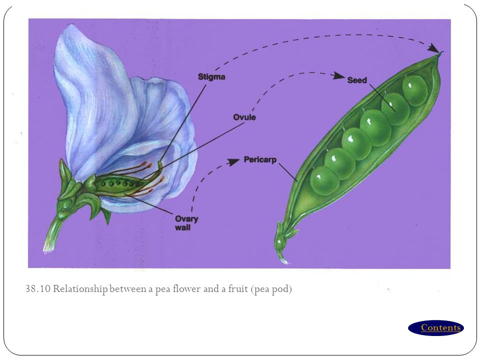 38.10 Relationship between a pea flower and a fruit (pea pod)