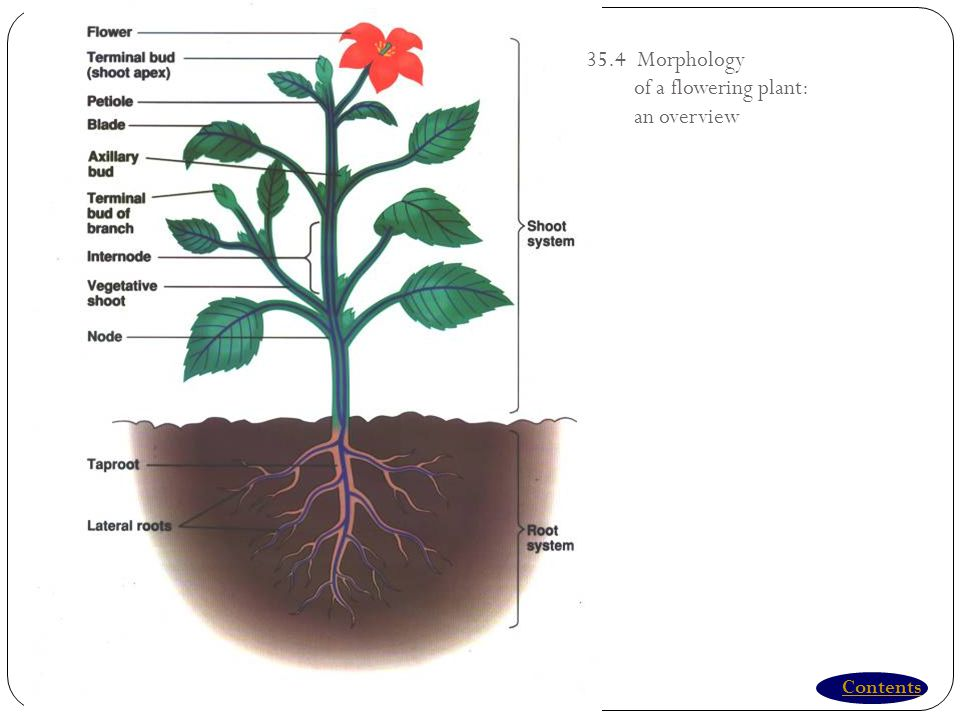 35.4 Morphology of a flowering plant: an overview Contents