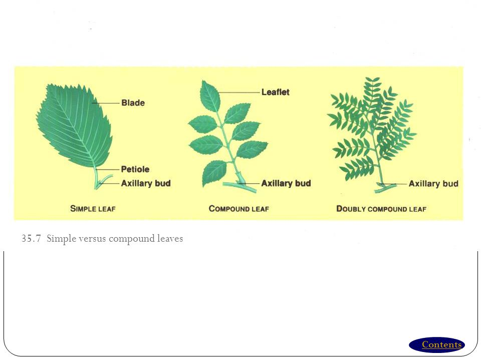 35.7 Simple versus compound leaves