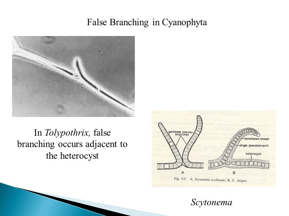 False Branching in Cyanophyta