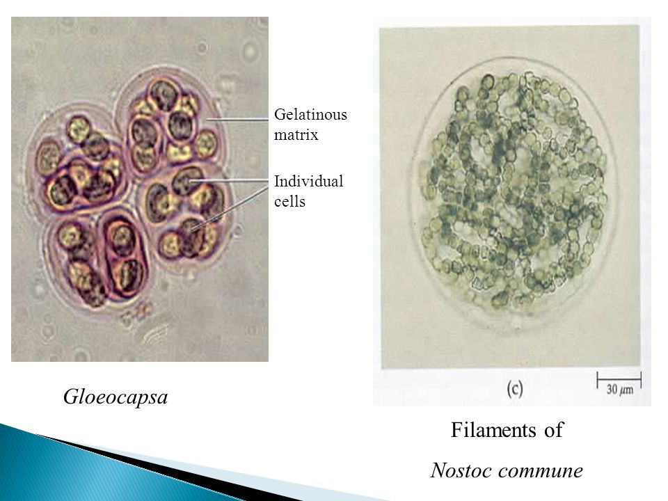 Gloeocapsa Filaments of Nostoc commune Gelatinous matrix