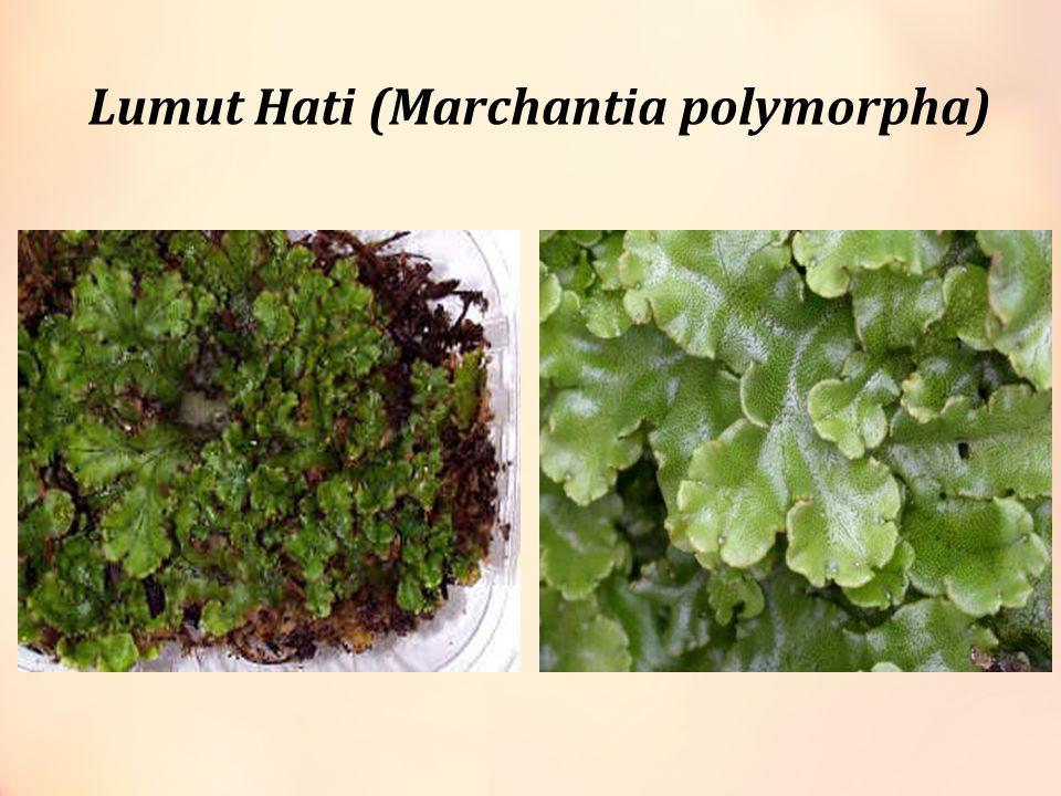 Lumut Hati (Marchantia polymorpha)