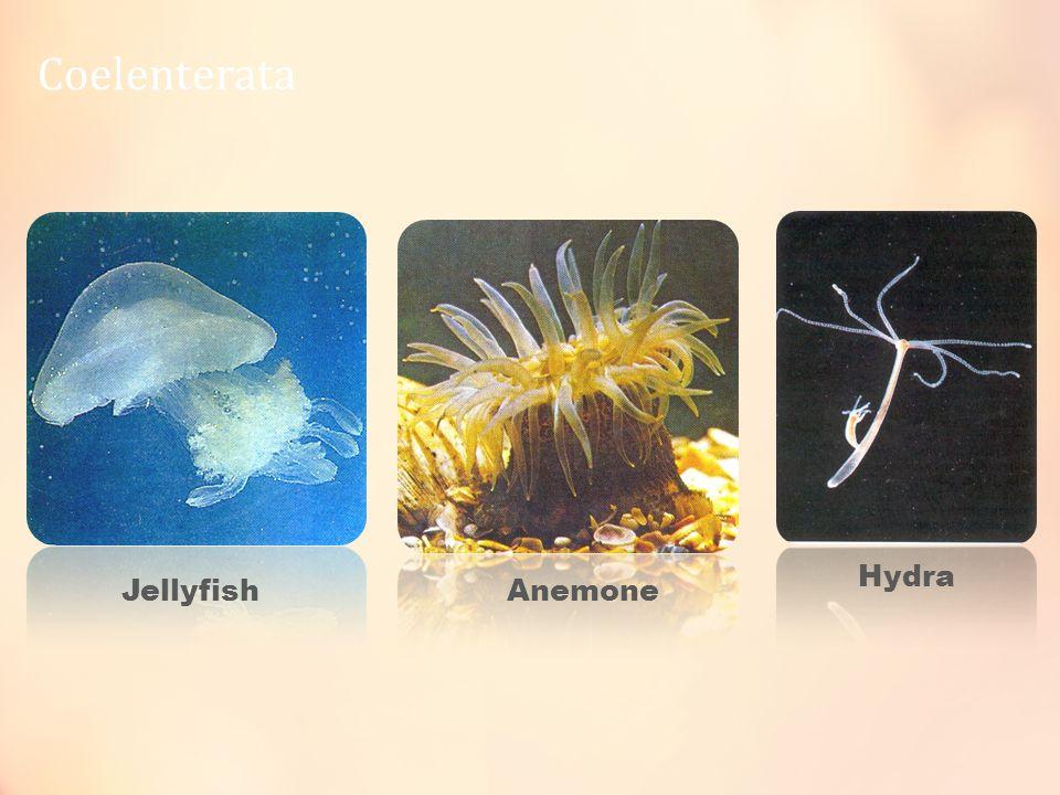 Coelenterata Hydra Jellyfish Anemone
