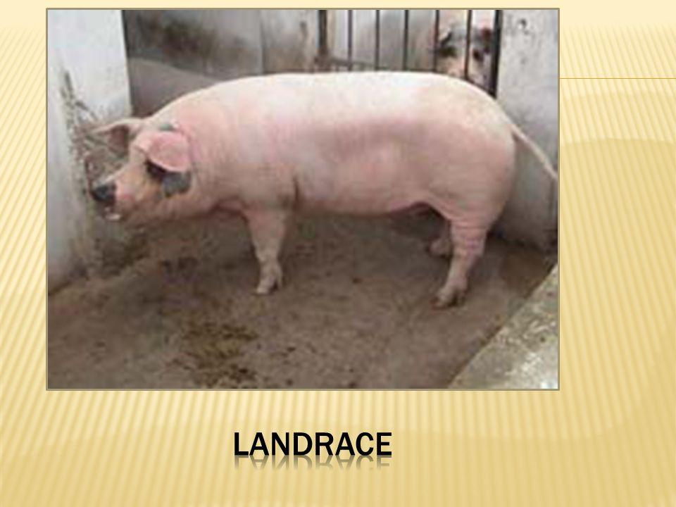 Landrace