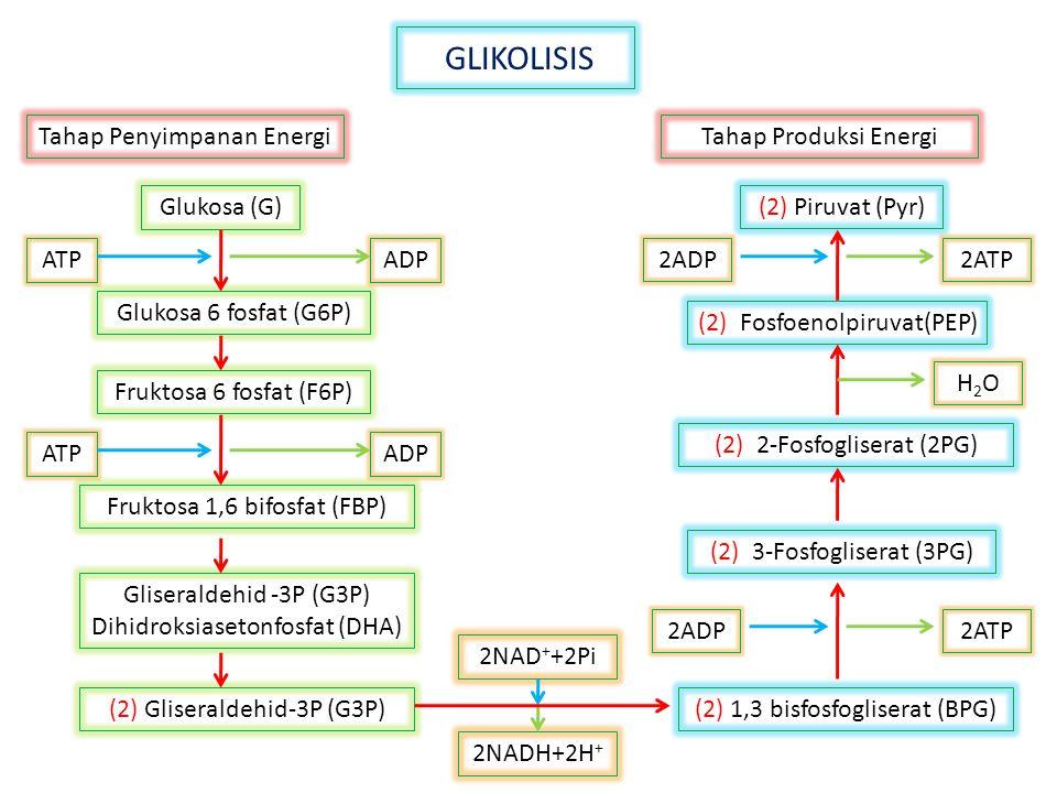 GLIKOLISIS Tahap Penyimpanan Energi Tahap Produksi Energi 2NADH+2H+