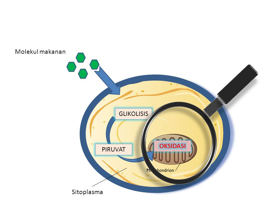 Molekul makanan GLIKOLISIS OKSIDASI PIRUVAT Sitoplasma