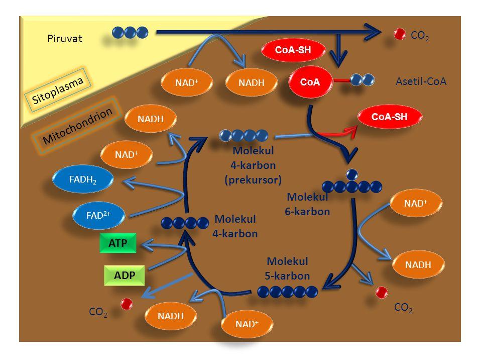 CO2 Piruvat Asetil-CoA Sitoplasma Mitochondrion Molekul