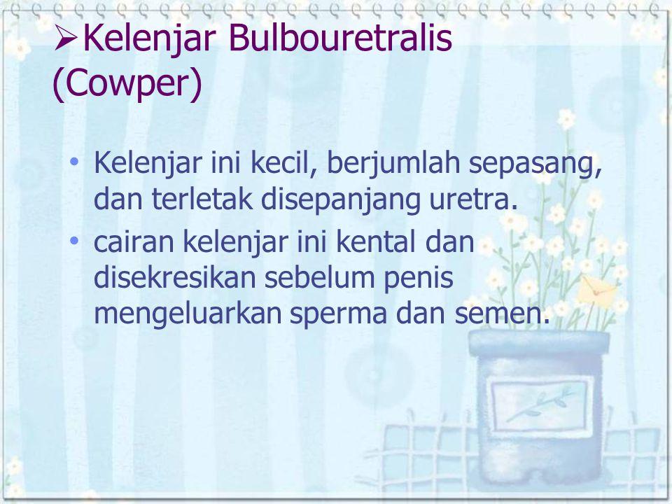 Kelenjar Bulbouretralis (Cowper)
