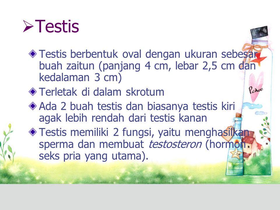 Testis Testis berbentuk oval dengan ukuran sebesar buah zaitun (panjang 4 cm, lebar 2,5 cm dan kedalaman 3 cm)