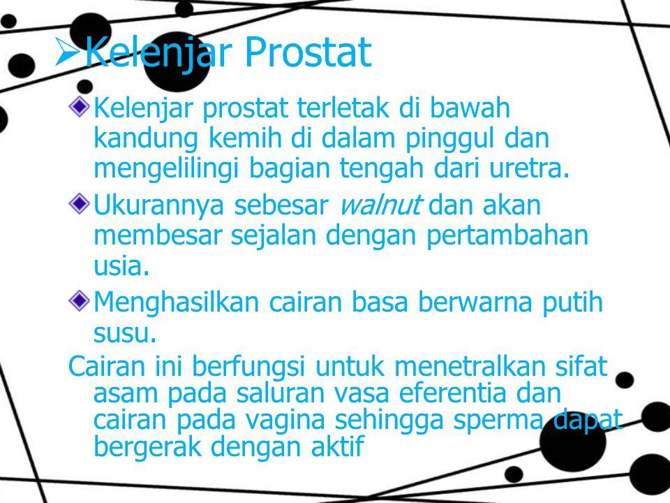 Kelenjar Prostat Kelenjar prostat terletak di bawah kandung kemih di dalam pinggul dan mengelilingi bagian tengah dari uretra.