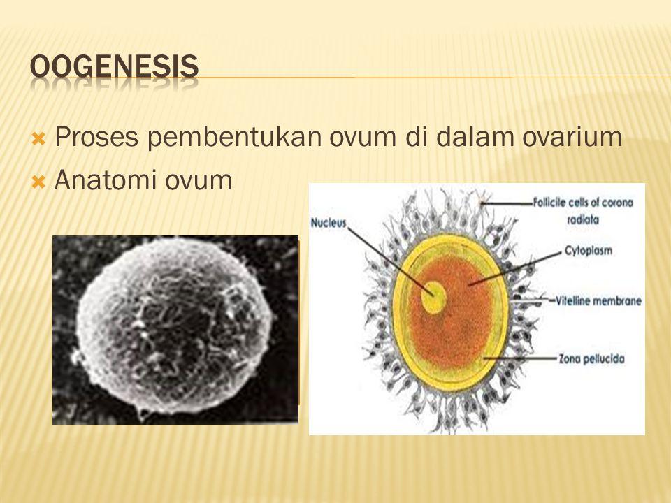 Oogenesis Proses pembentukan ovum di dalam ovarium Anatomi ovum