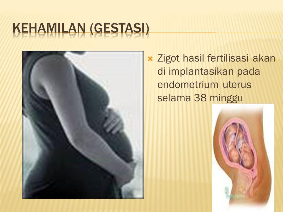 KEHAMILAN (GESTASI) Zigot hasil fertilisasi akan di implantasikan pada endometrium uterus selama 38 minggu.