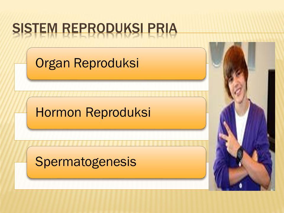 Sistem Reproduksi Pria