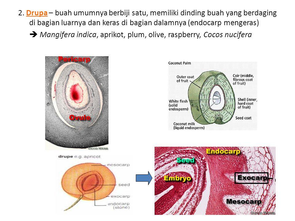 2. Drupa – buah umumnya berbiji satu, memiliki dinding buah yang berdaging di bagian luarnya dan keras di bagian dalamnya (endocarp mengeras)