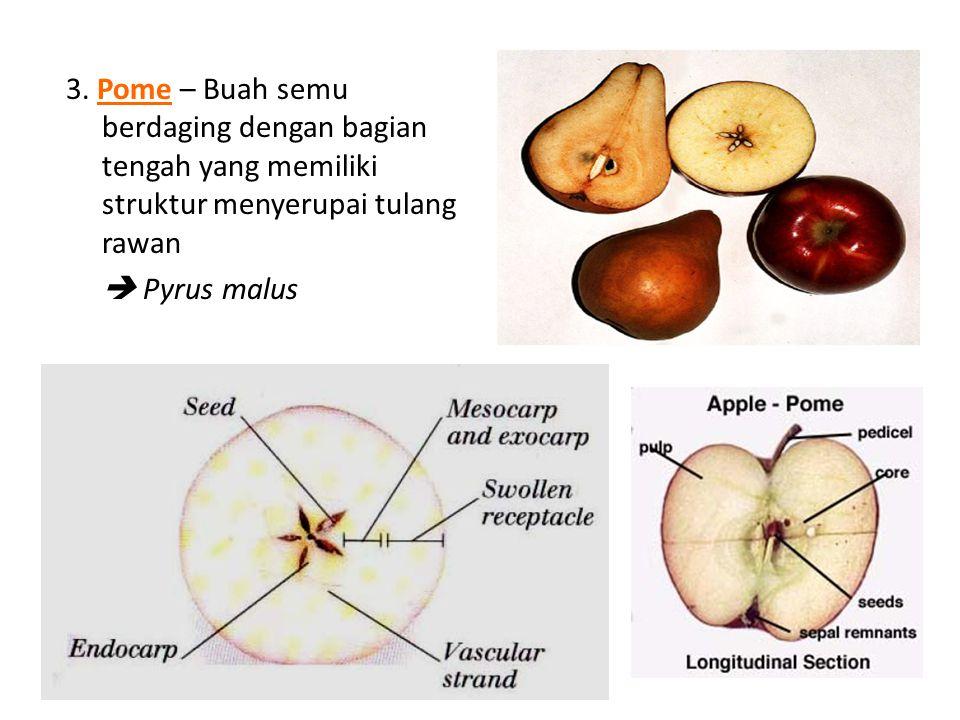 3. Pome – Buah semu berdaging dengan bagian tengah yang memiliki struktur menyerupai tulang rawan