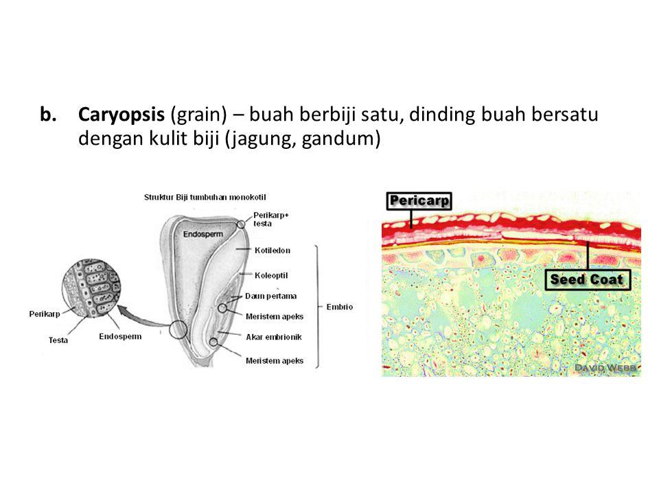 Caryopsis (grain) – buah berbiji satu, dinding buah bersatu dengan kulit biji (jagung, gandum)