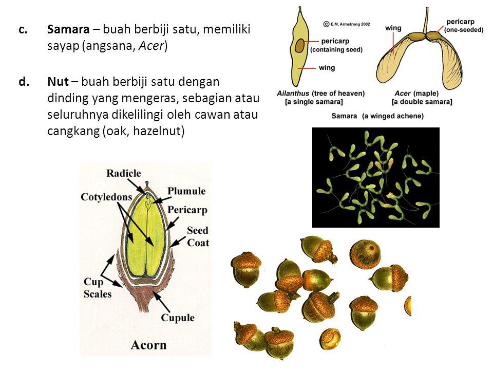 Samara – buah berbiji satu, memiliki sayap (angsana, Acer)