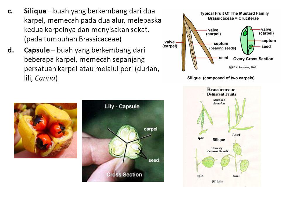 Siliqua – buah yang berkembang dari dua karpel, memecah pada dua alur, melepaskan kedua karpelnya dan menyisakan sekat. (pada tumbuhan Brassicaceae)
