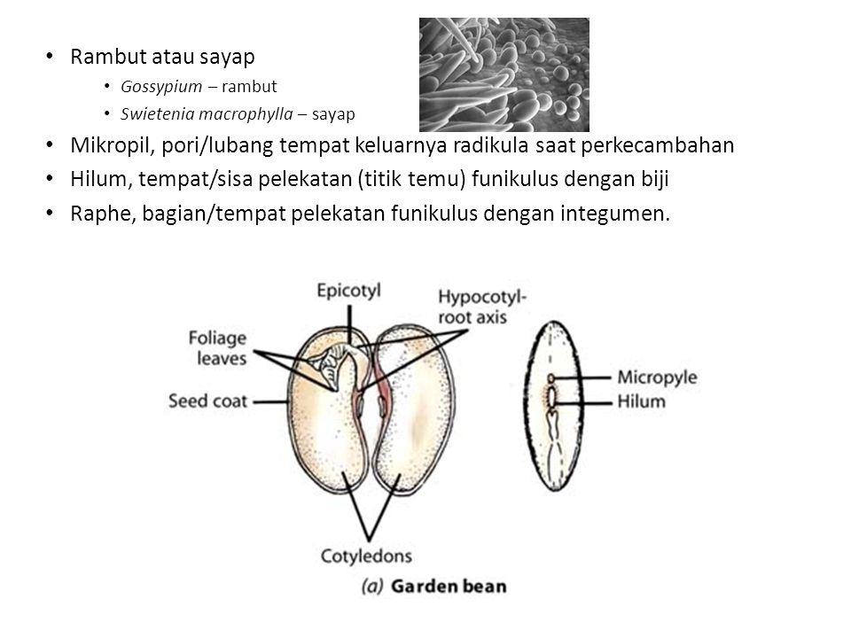 Mikropil, pori/lubang tempat keluarnya radikula saat perkecambahan