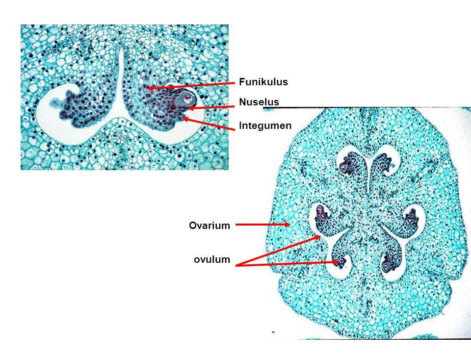 Funikulus Nuselus Integumen Ovarium ovulum
