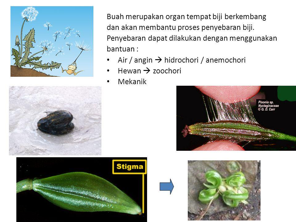 Buah merupakan organ tempat biji berkembang