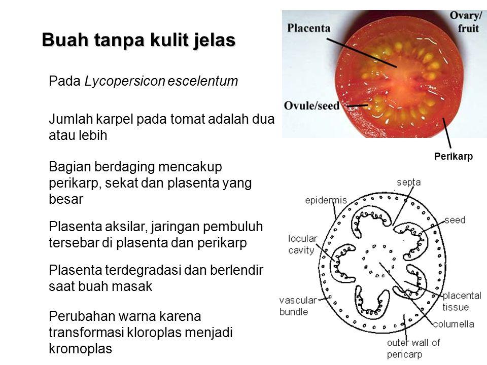 Buah tanpa kulit jelas Pada Lycopersicon escelentum