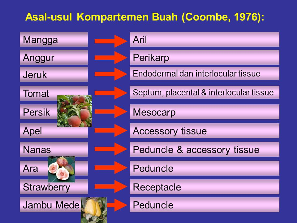 Asal-usul Kompartemen Buah (Coombe, 1976):
