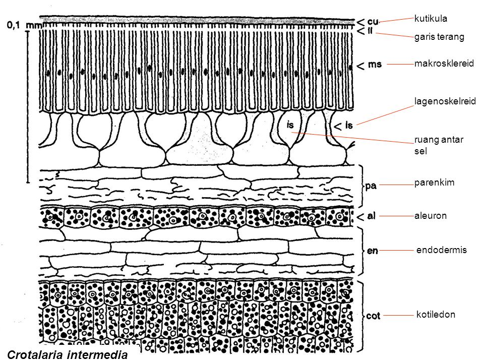 Crotalaria intermedia