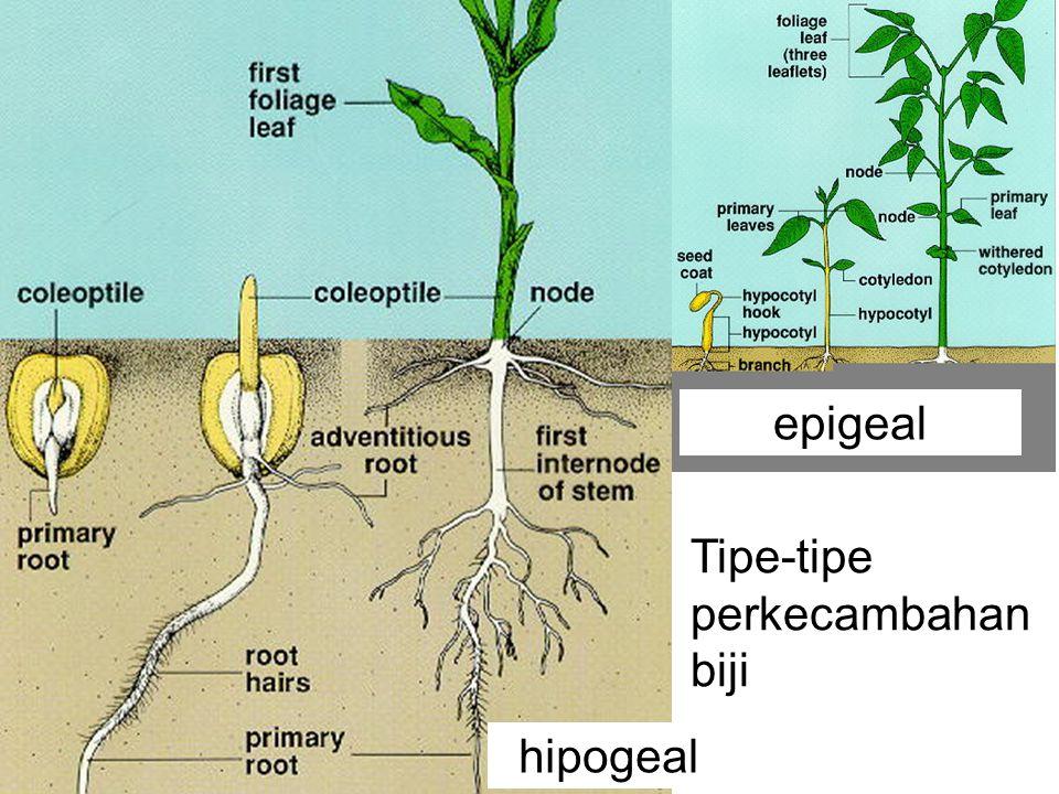 epigeal Tipe-tipe perkecambahan biji hipogeal