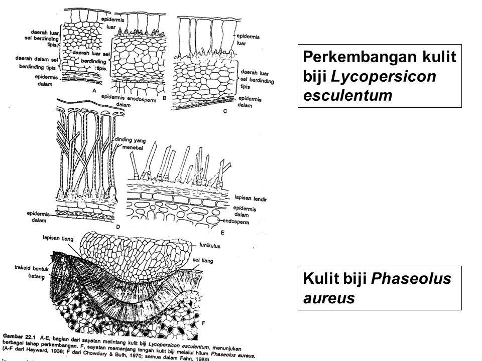 Perkembangan kulit biji Lycopersicon esculentum
