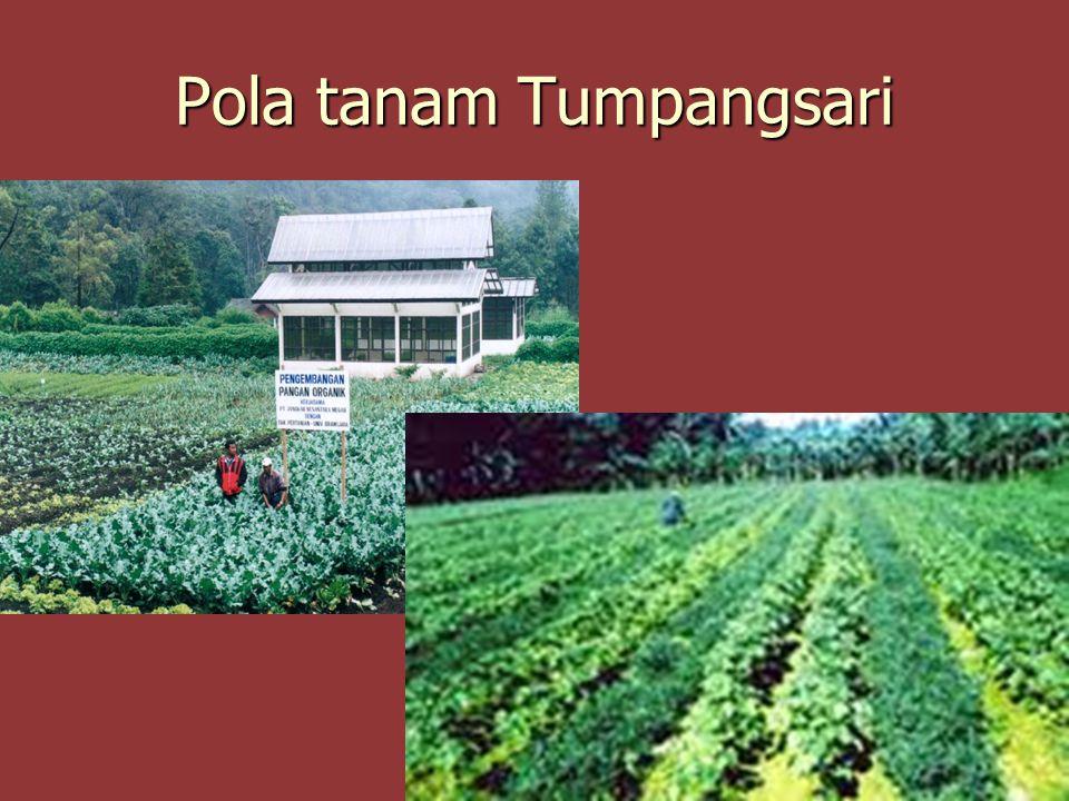Pola tanam Tumpangsari
