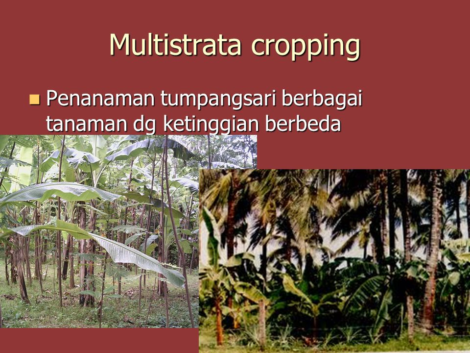 Multistrata cropping Penanaman tumpangsari berbagai tanaman dg ketinggian berbeda