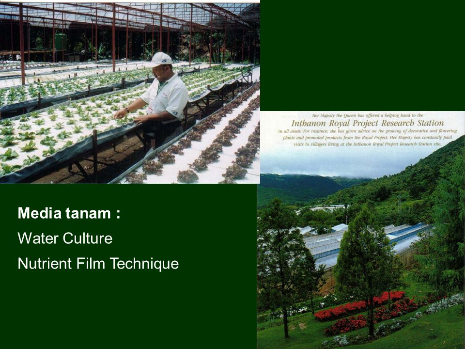 Media tanam : Water Culture Nutrient Film Technique