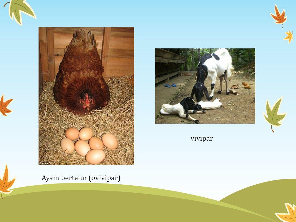 vivipar Ayam bertelur (ovivipar)