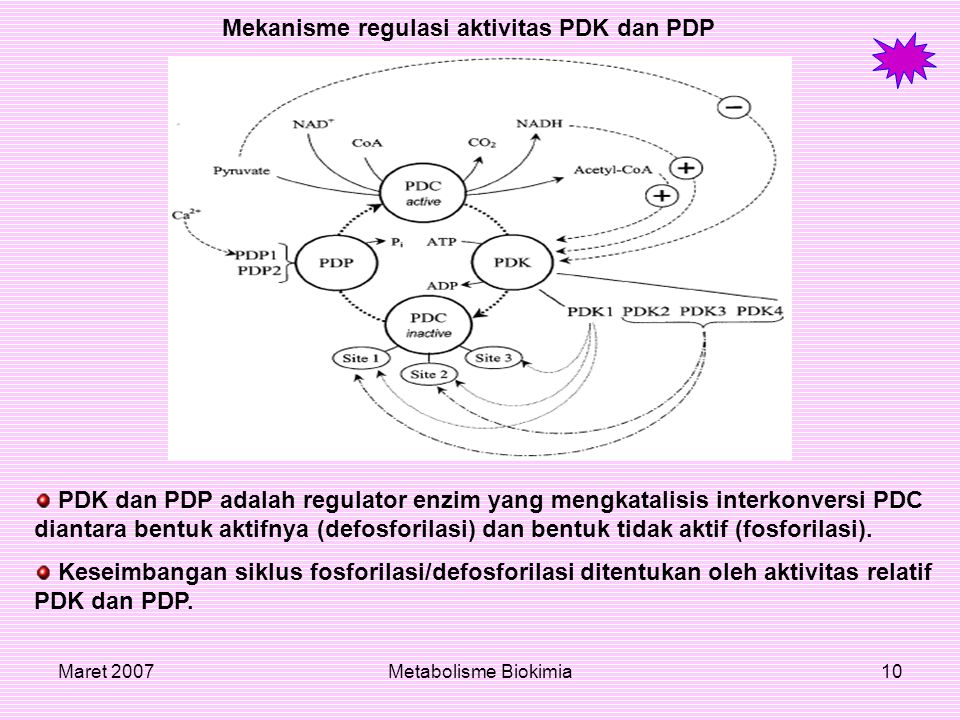 Mekanisme regulasi aktivitas PDK dan PDP