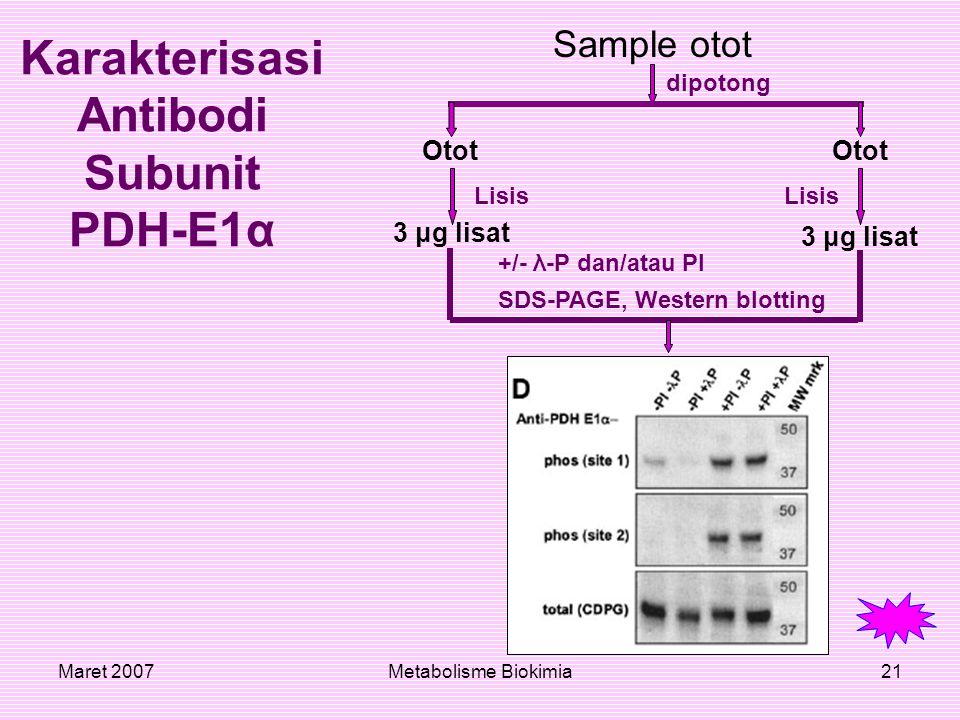 Karakterisasi Antibodi Subunit PDH-E1α