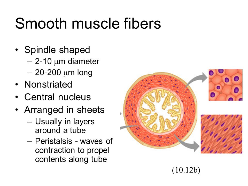 Smooth muscle fibers Spindle shaped Nonstriated Central nucleus