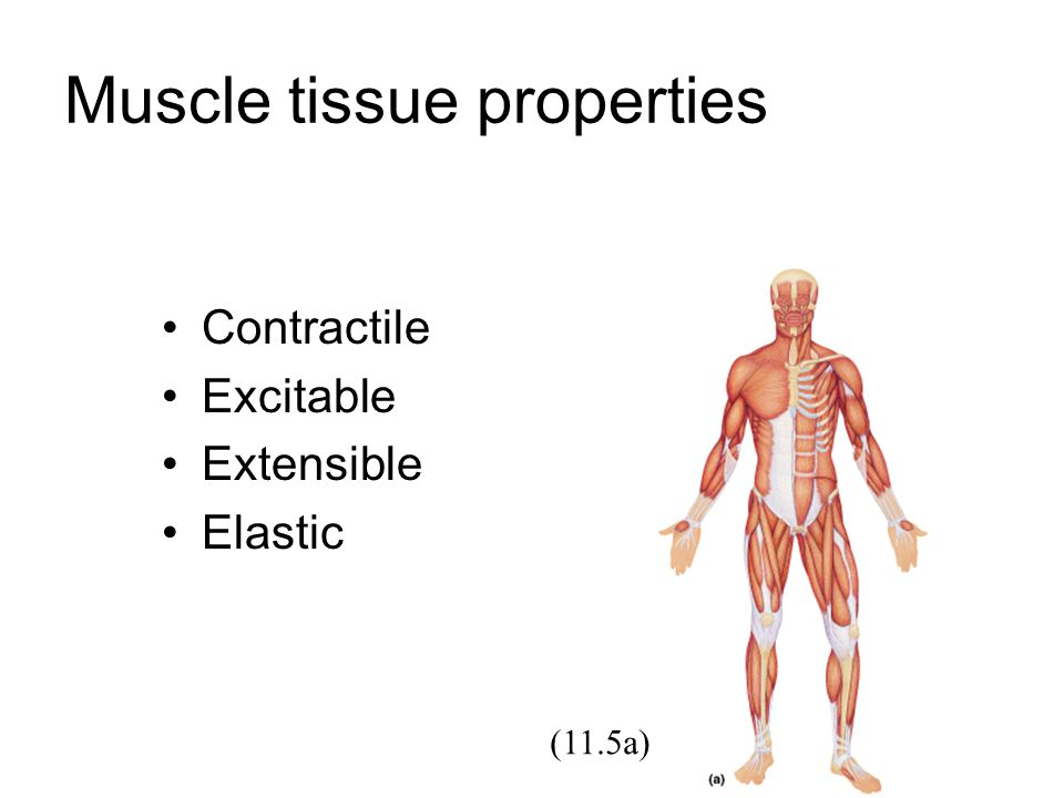 Muscle tissue properties