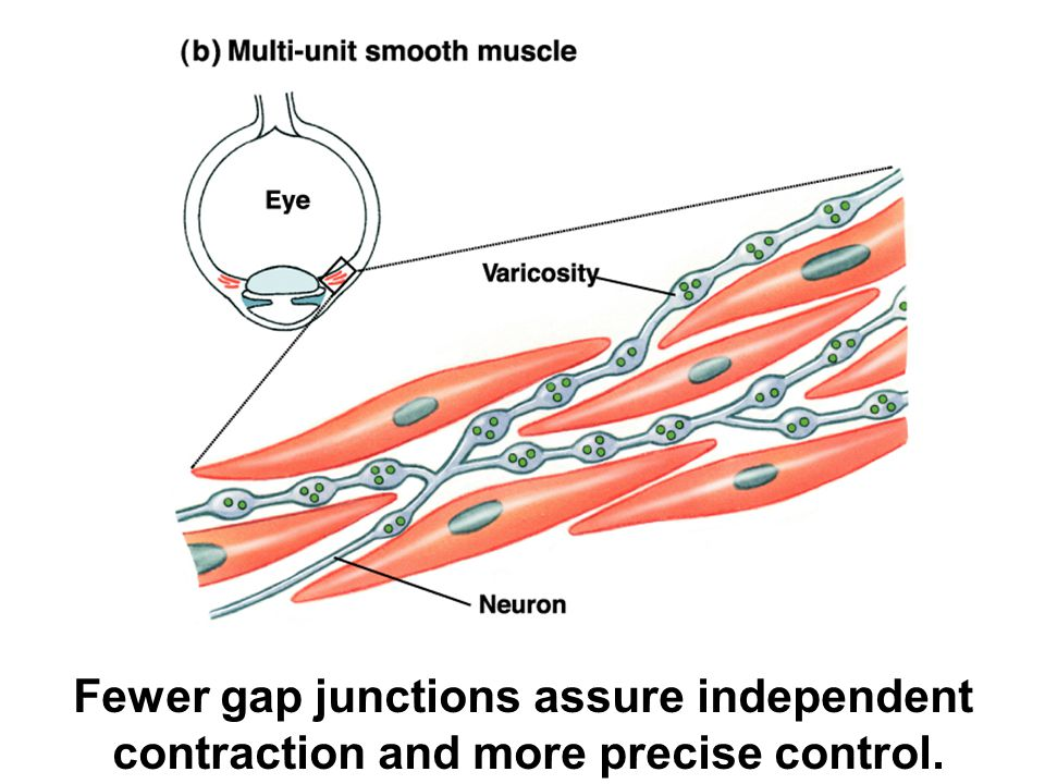 Fewer gap junctions assure independent