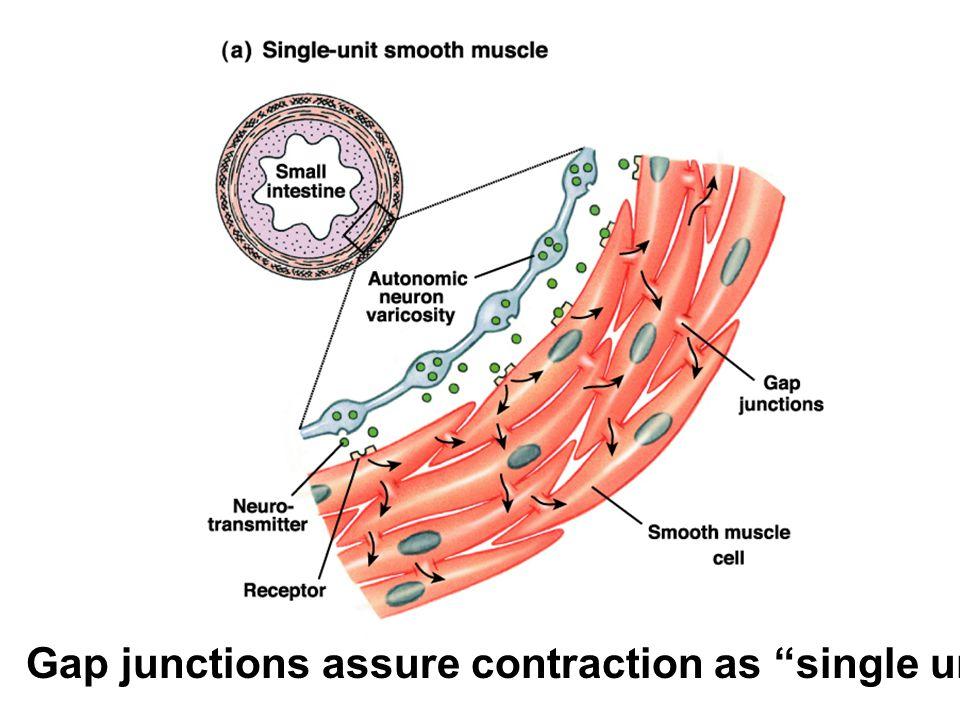 Gap junctions assure contraction as single unit.