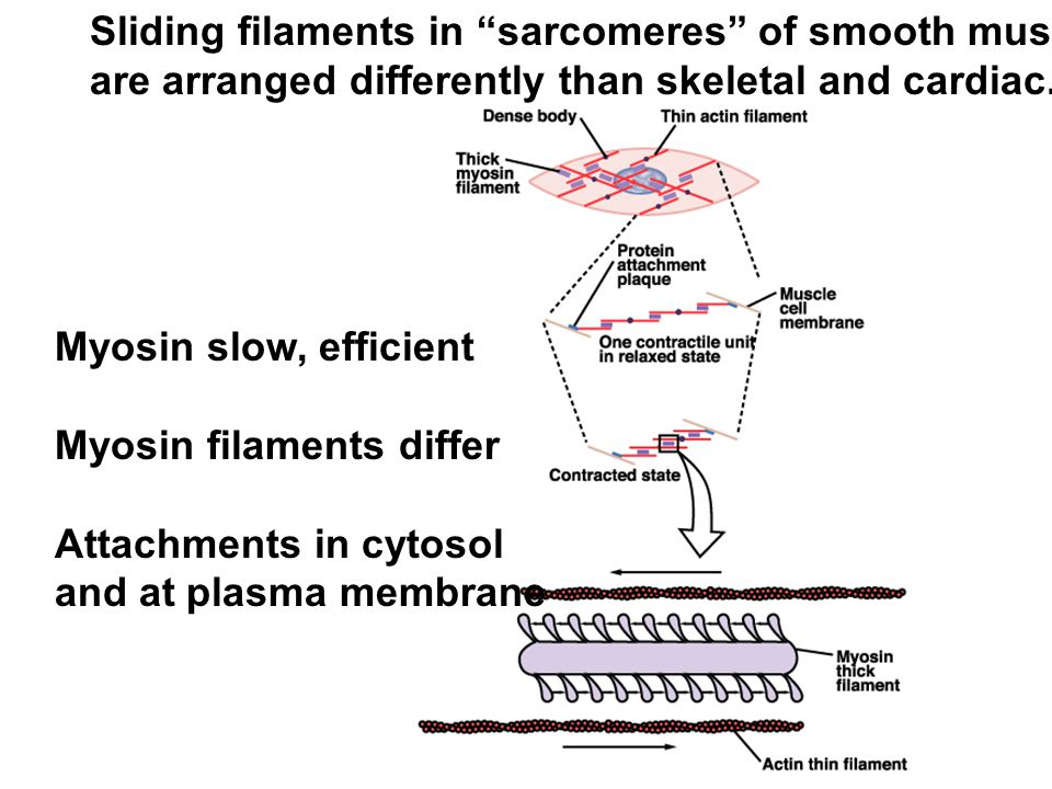 Sliding filaments in sarcomeres of smooth muscle